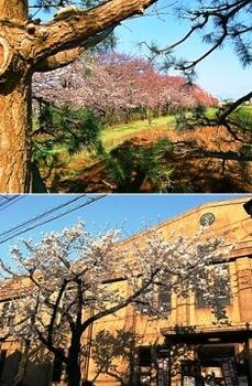 桜見頃.jpg